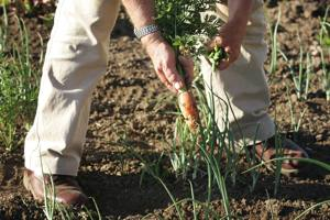 Pulling carrots in the vegetable garden